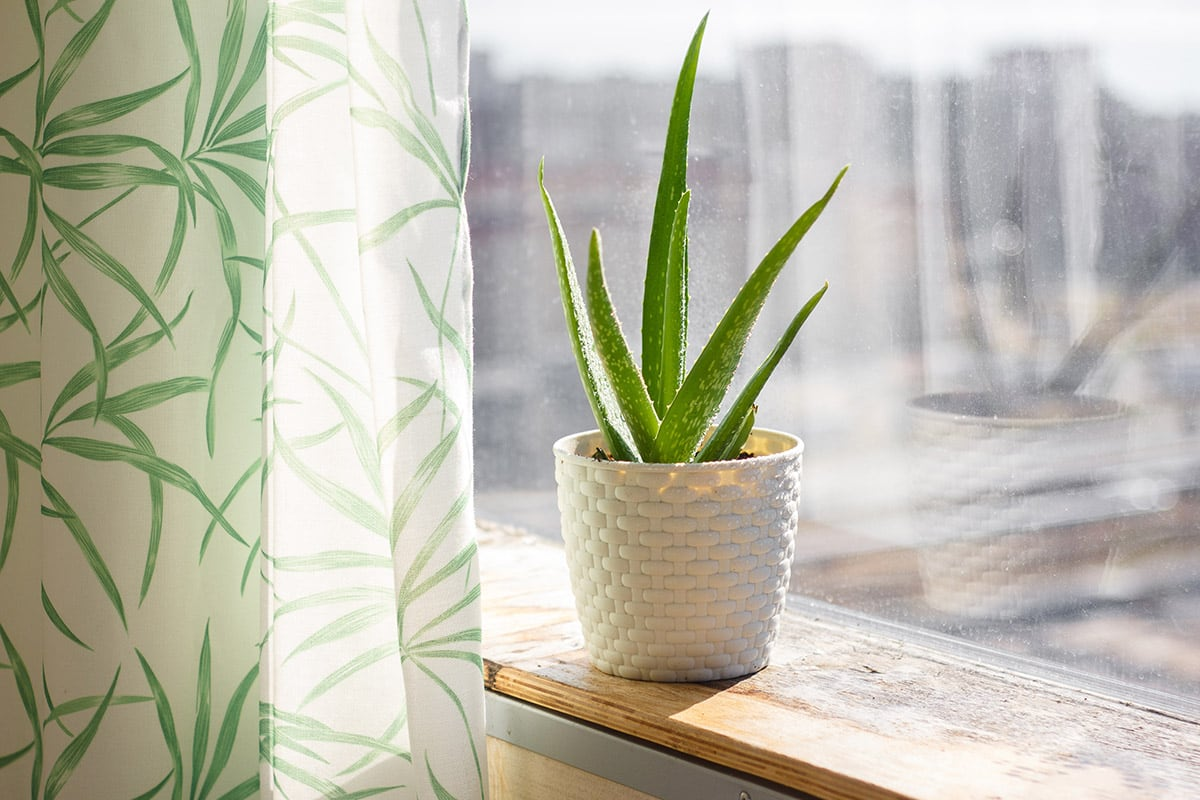 aloe plant in windowsill